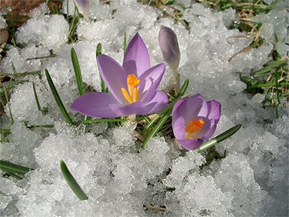 crocus-in-the-snow21